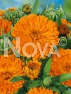 Calendula doppia arancio G4501545