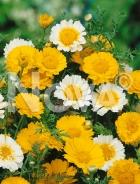 Crisantemo mix G4500316