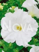 Petunia nana compatta bianca G4500424