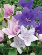 Campanula grandiflora U01700