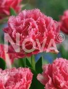 Tulipano crispa rosa N1914321