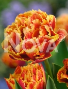 Tulipano crispa gold dust N1914326