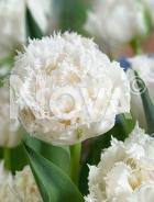 Tulipano crispa bianco N1916247