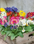 Primula dei giardini mix N0916698