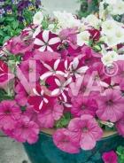 Petunia nana compatta mix N1518217
