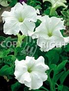 Petunia nana compatta bianca F-372
