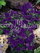 Petunia nana compatta viola F-373