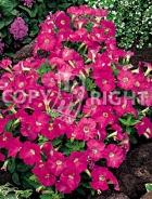 Petunia nana compatta rosa F-375