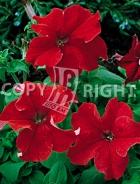 Petunia nana compatta rossa F-376