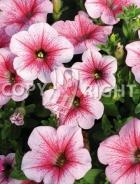 Petunia nana superbissima rosa F-534