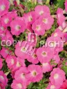 Petunia nana compatta rosa F-535