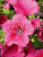 Petunia nana compatta rosa F-536