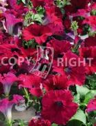 Petunia nana compatta rossa F-537