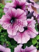 Petunia nana superbissima viola F-559