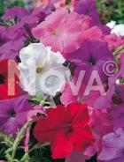 Petunia nana compatta mix N1511348