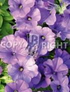 Petunia pendula viola F-553