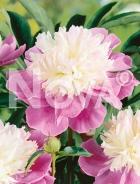 Paeonia rosa N0907831