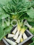 Lattuga asparago N1701972