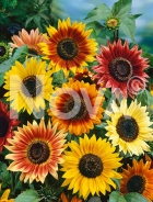 Girasole autumn beauty 91 45 50