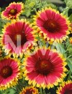 Gaillardia bicolore a grandi fiori N0921478