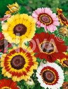 Crisantemo carinato mix N1502946