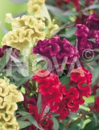 Celosia cresta di gallo mix N1516415