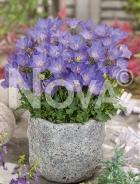 Campanula carpatica blu N0918454