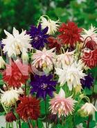 Aquilegia a fiore doppio mix N0900159