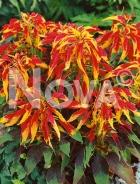 Amaranto tricolor N1508496
