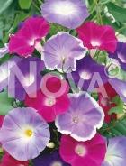 Ipomea grandiflora mix 91 65 00