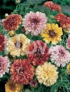 Crisantemo doppio carinato mix 90 67 58