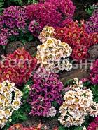 Schizanthus mix F-385