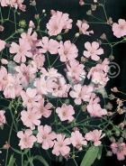 Gissofila elegans rosa N0906064