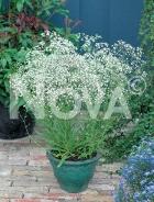 Gissofila paniculata bianca N0908266