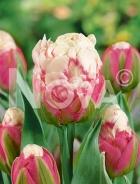 Tulipano doppio ice cream N1904961