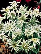 Stella alpina o edelweiss F-205