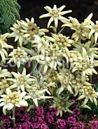Stella alpina o edelweiss F-387