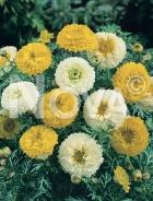 Chrysanthemum coronarium 90 67 57