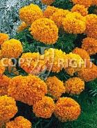 Tagete alto doppio arancio 2273