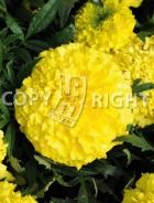 Tagete alto doppio giallo F-546