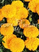 Tagete alto doppio arancio F-548