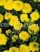 Tagete alto doppio giallo F-550