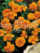 Tagete nano doppio arancio F-388