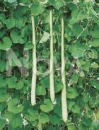 Lagenaria siceraria longissima N1701221