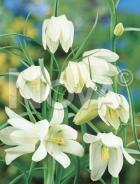 Fritillaria imperialis bianca G4900793_140