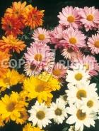 Crisantemo mix F-486