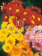 Crisantemo mix F-487