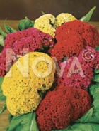 Celosia cresta di gallo mix 51 62 52