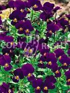 Viola cornuta blu F-238