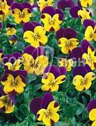Viola cornuta bicolore F-415